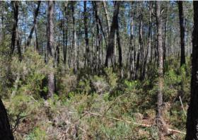 PINUS PINASTER FORESTS VULNERABILITY…