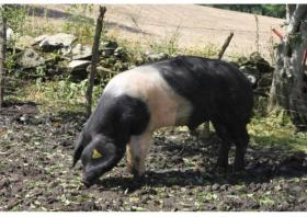 SUSTAINABILITY OF SILVOPASTURE SYSTEMS BASED ON DECIDIOUS SPECIES FROM THE IBERO-ATLANTIC REGION WITH NATIVE BREEDS OF PIG IN EXTENSIVELY FARMING