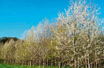 FORESTRY USE OF THE GALICIAN WILD CHERRY (PRUNUS AVIUM)