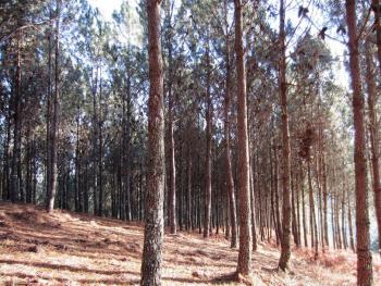 NEW ORCHARDS OF PINUS PINASTER SEED. ADVANCES IN GENETIC IMPROVEMENT