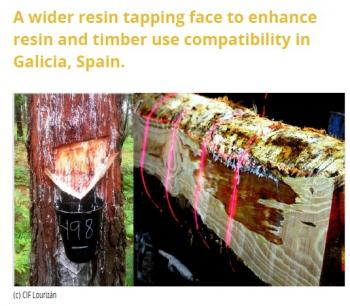 A wider resin tapping face to enhance resin and timber use compatibility in Galicia, Spain
