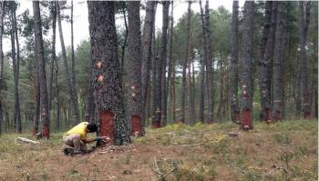 LOURIZÁN CONFIRMS THE POTENTIAL OF PINE RESINATION IN GALICIA